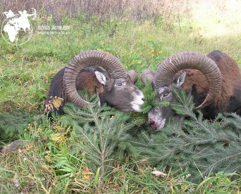 Jagt Muflon Globus Jagtrejser