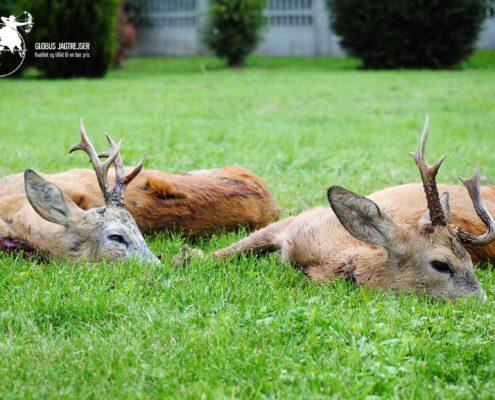 Bukkejagt Polen Globus Jagtrejser