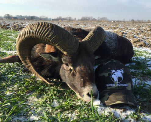Muflon Jagt Polen Globus Jagtrejser