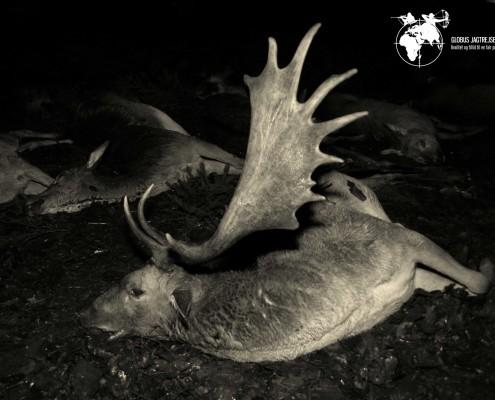Jagt Dåhjort Polen Globus Jagtrejser