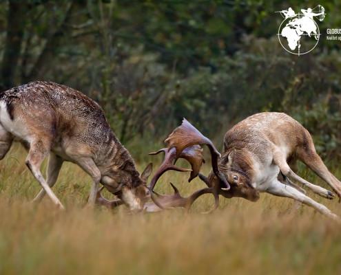 Jagt Dåhjort Globus Jagtrejser